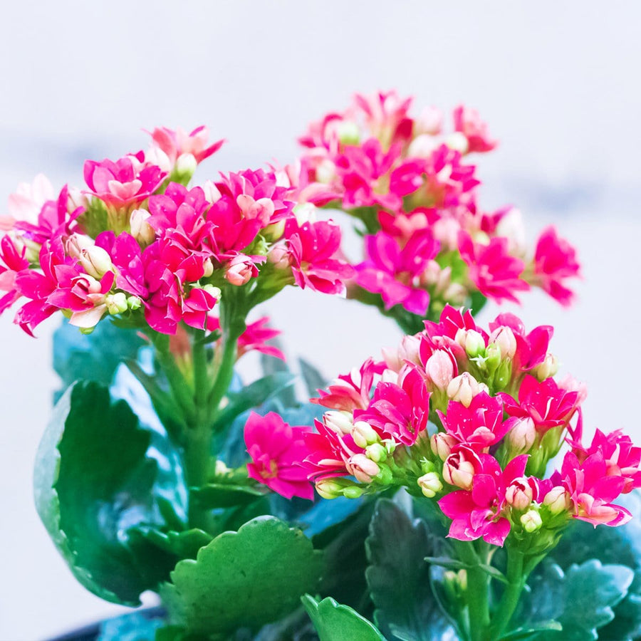 Kalanchoe - Jagtap Nursery's Garden Center