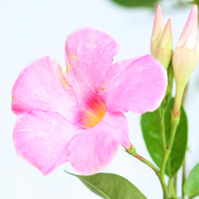 Mandevilla white - Jagtap Nursery's Garden Center