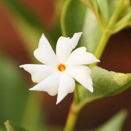 Parijatak Flower