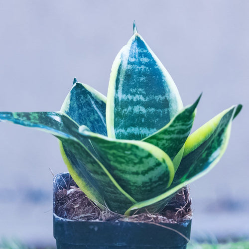 Snake Plant - Jagtap Nursery's Garden Center