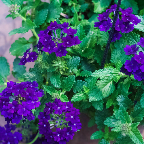 Verbena mix - Jagtap Nursery's Garden Center