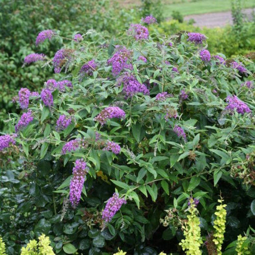 Buddleja davidii - Jagtap Nursery's Garden Center