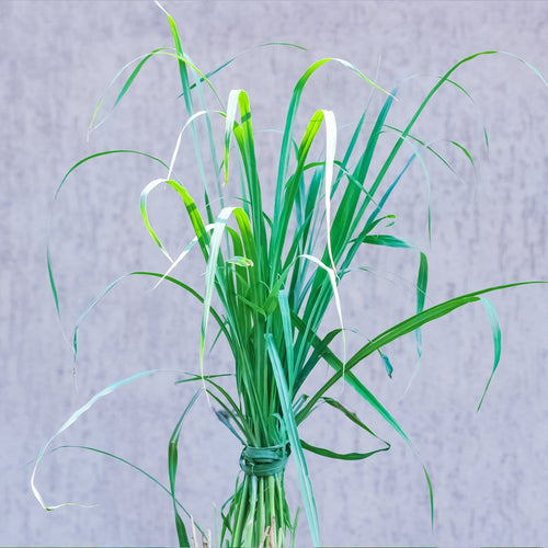 Lemon Grass - Jagtap Nursery's Garden Center