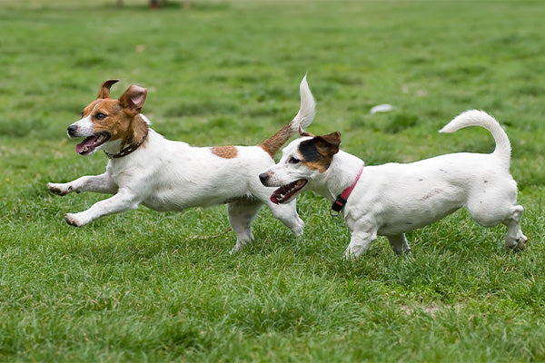 Joint Pain In Dogs - Green Gruff Canine Supplements
