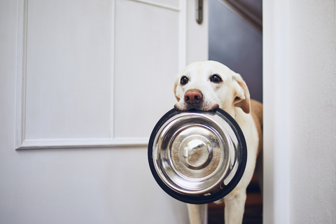 Dog waiting to be fed, carrying a metal food bowl in their mouth.