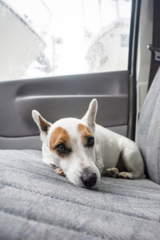 Dog curled up on the backseat while riding in a car.