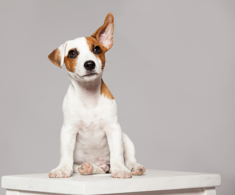 Sitting puppy with one ear up in the air.