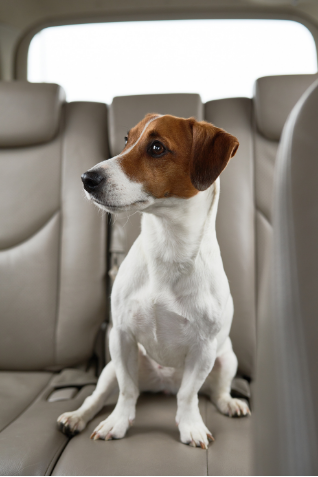 Anxious dog riding in the backseat of a car.