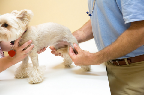 A small dog being examined by a vet for joint pain in their hips.