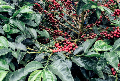 USDA Organic Coffee Maintains Organic Integrity from the Farm to Your Front Door