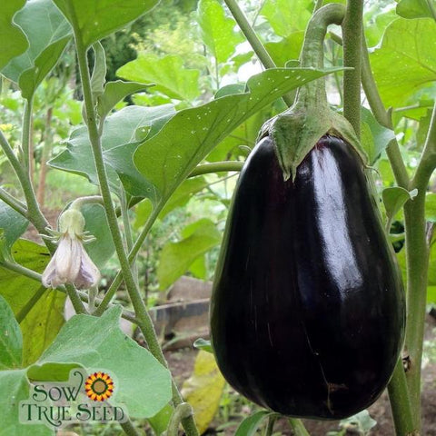Eggplant can naturally lower cholesterol and more