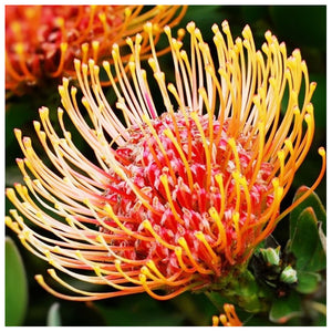 Protea Flower - Full Round Diamond Painting