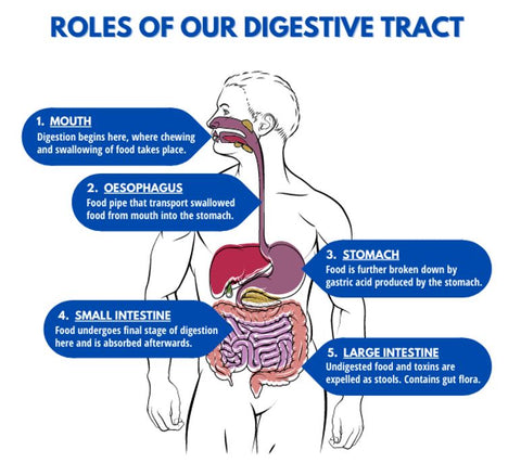 Roles of Our Digestive Tract