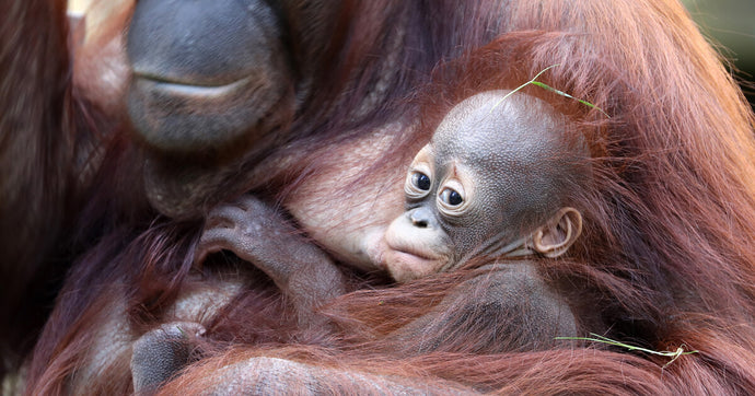 An orangutan mother found shot after fire destroys her home