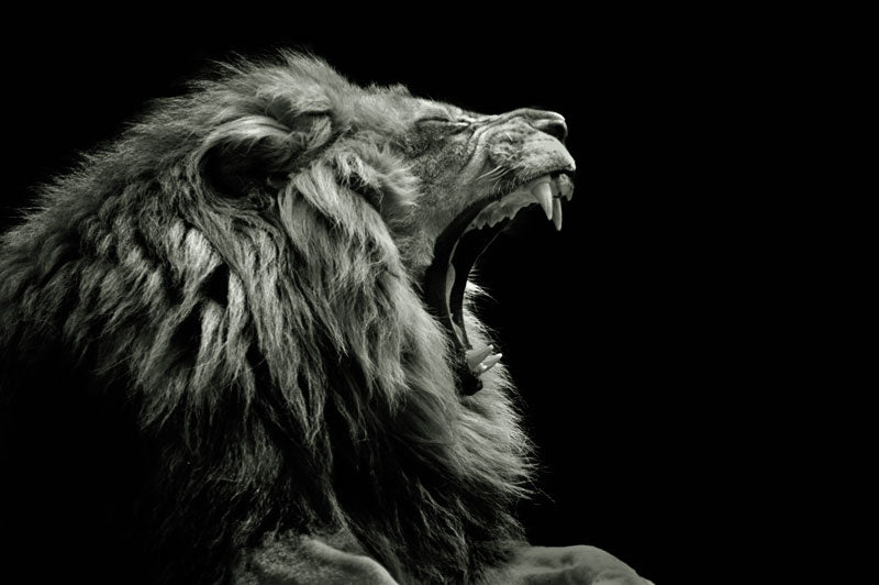 Photo Art - Lion