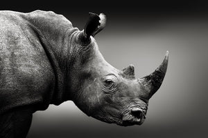 Photo Art - Rhino