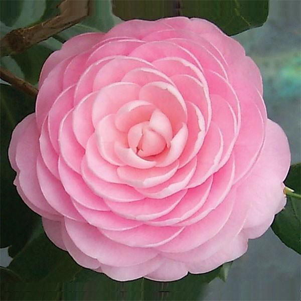 Camellia Japonica Seeds - 15 Seed Pack