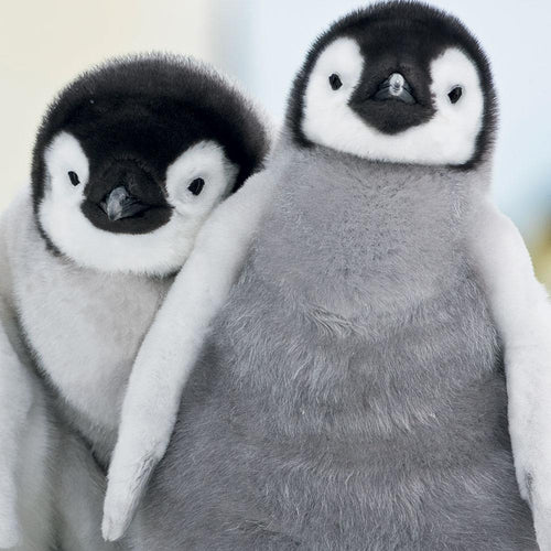 Side By Side Cute Penguins