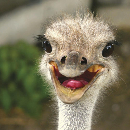 Happy Ostrich