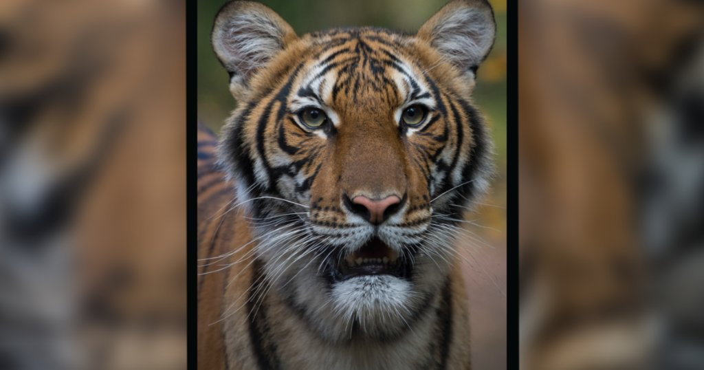 Tiger Test Positive For The Corona Virus In New York Zoo