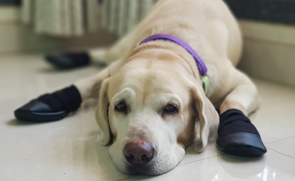 Dog wearing Zoof grips to avoid slipping