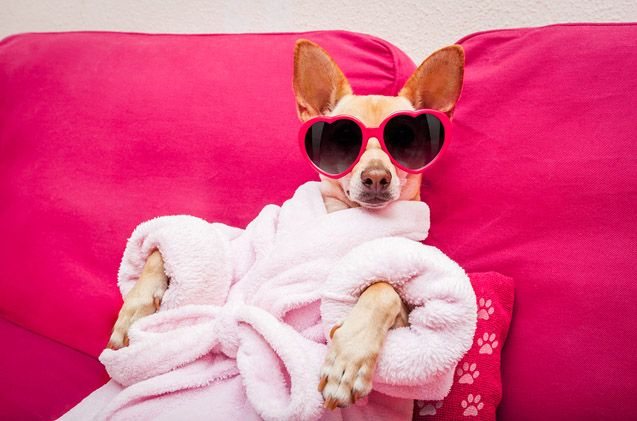 Doggo wearing glasses and robe relaxing
