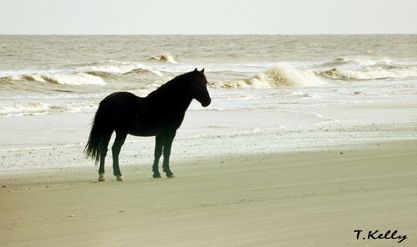 T.Kelly Photo Wild Horse of Corolla