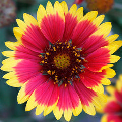 Blanket Flower Image
