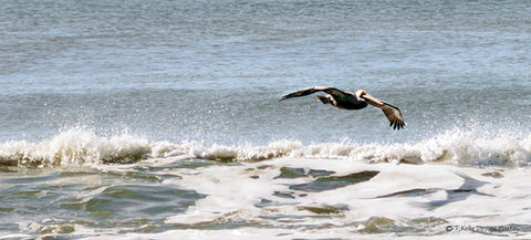 Brown Pelican Surfing