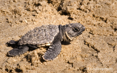 Baby sea turtle just hatched