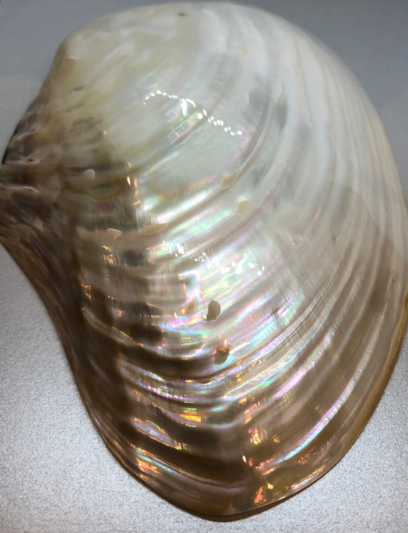 Large A-grade New Zealand Mother of Pearl Shell