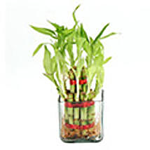 Two Layer Lucky Bamboo Plant