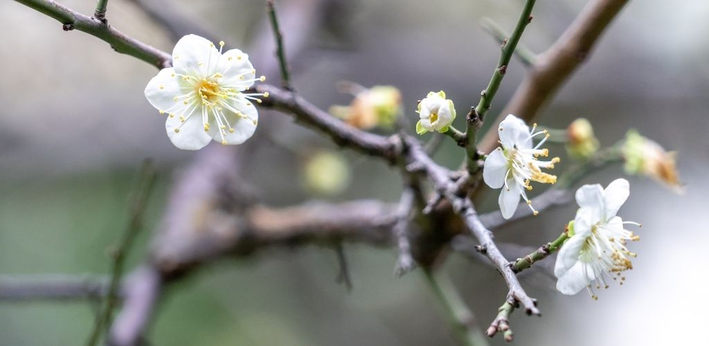 Plum blossom, vitality and protection