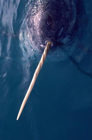 Unicorn whale zoom on the tooth horn tusk