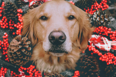 How to avoid Christmas dangers for your pet