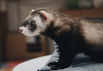 Ferret cage cleaning tips