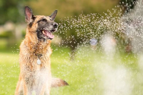 Dog smiling sitting on the grass near a sprinkler