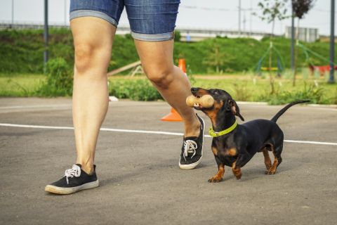 Dog holding a chew toy walking next to owner