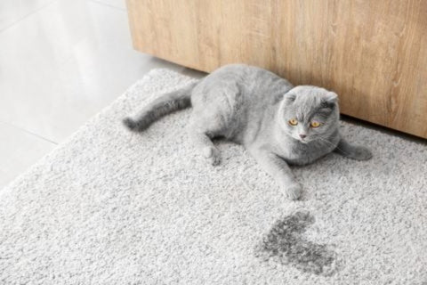 cat laying on the living room carpet next to a urine stain