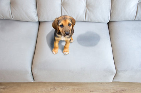 dog-pee-on-a-couch-cushion-in-the-house