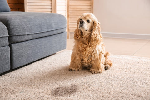 dog-urine-stain-on-the-carpet-in-the-house