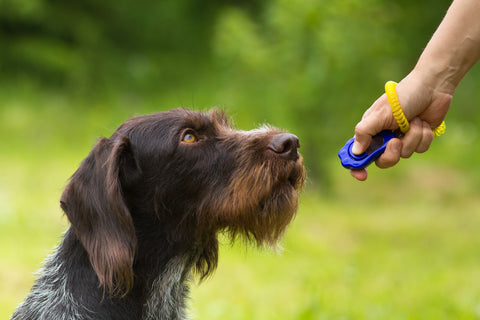 puppy being trained by using a training clicker