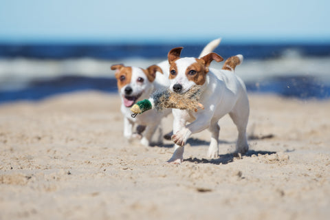 two dogs running and playing on the beach