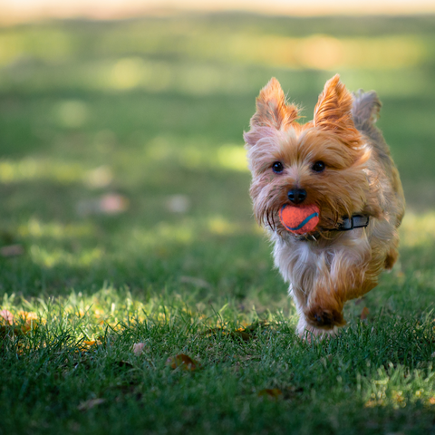 yorkie dog bringing a ball back to owner in game of fetch
