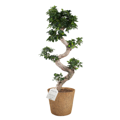 Ficus microcarpa 'S-shape' bonsai