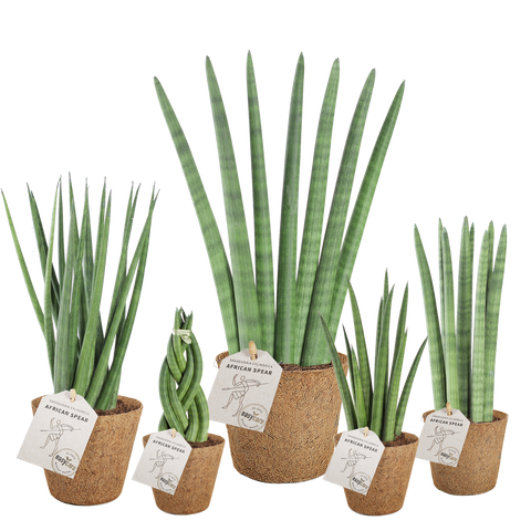 Sansevieria cylindrica nemme easycare-planter  pasning