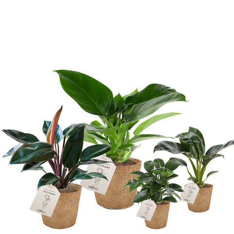 Silke-planter Philodendron pasning