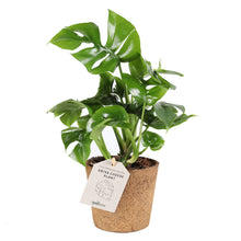 Load image into Gallery, Philodendron 'minima'