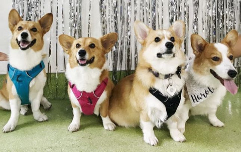 these corgis had their dog birthday party at city dog club which for them was the best place to host their dog's birthday party