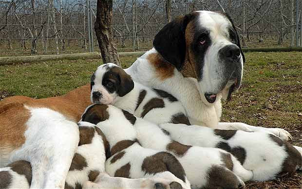 St. Bernard - adults and puppies